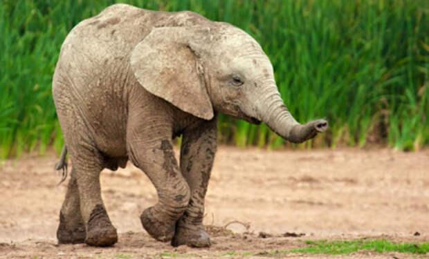 Слон пришел на участок воровать еду, а потом спрятался за столбом, чтобы его не увидели сторожа