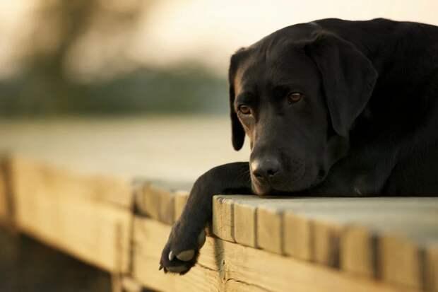 История лабрадора Дэнси или куда деть уже ненужную собаку (часть вторая)