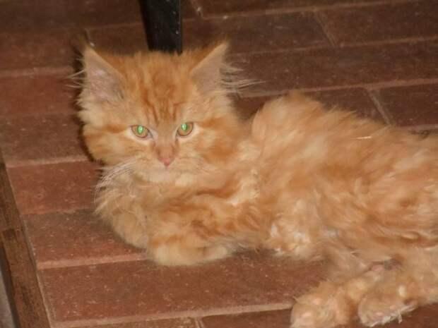 Реабилитация бродячего рыжего пушистого котенка