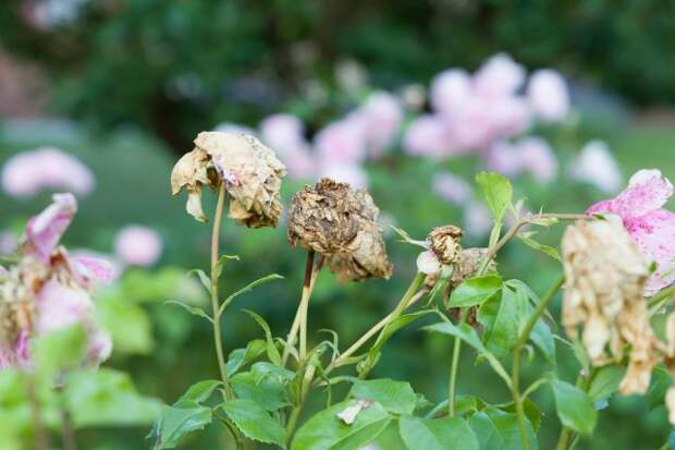 увядшие соцветия роз