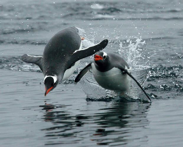 Ученые обнаружили, что пингвины на самом деле «говорят» под водой