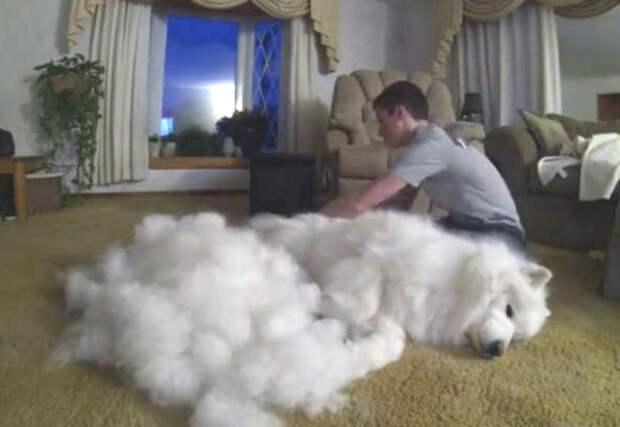 Вот что вас ждет, если вы отважитесь вычесывать собаку-самоеда