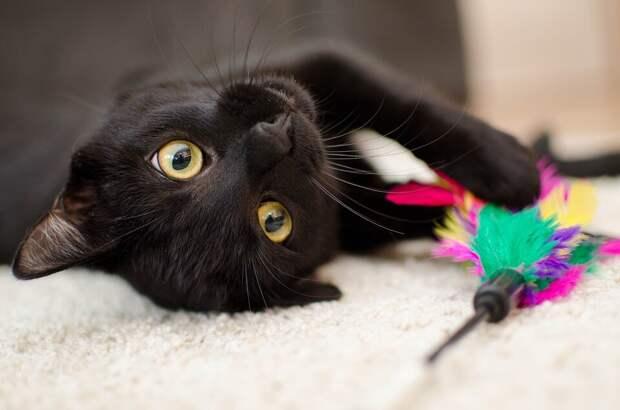 На фото изображен черный кот, который лежит на спине и в лапах держит игрушку.
