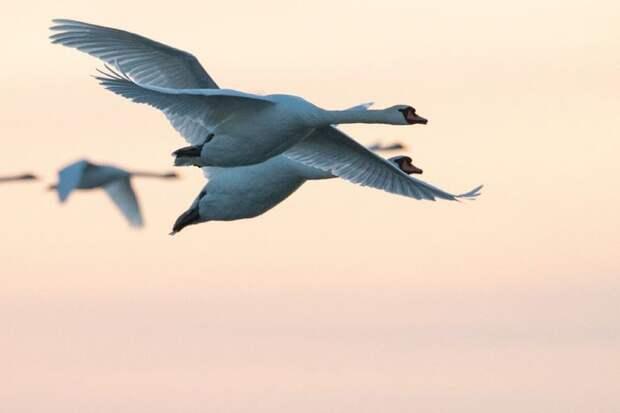 10 интересных фактов о лебедях которые мало кто знает