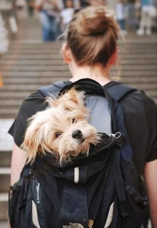 Пес в рюкзаке