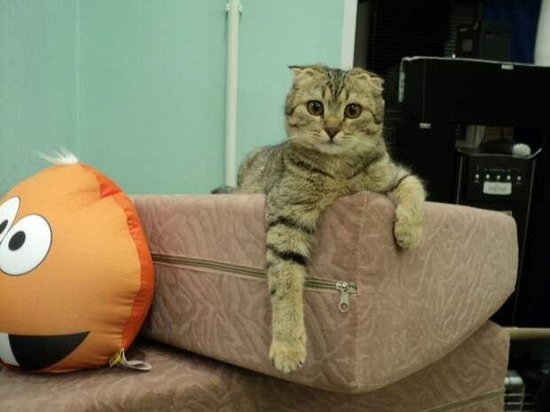 Вислоухая кошка пищала и привлекала внимание, как могла вислоухая кошка, кошка, порода, шотландская