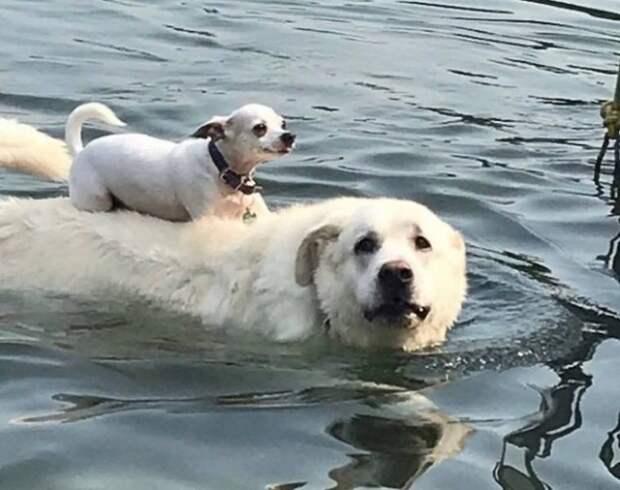 Хитрый чихуахуа катается и плавает верхом на друге лабрадоре