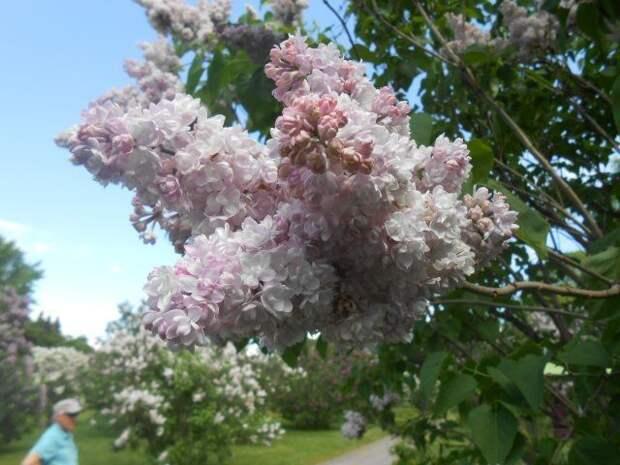 Сирень Монтень в конце цветения