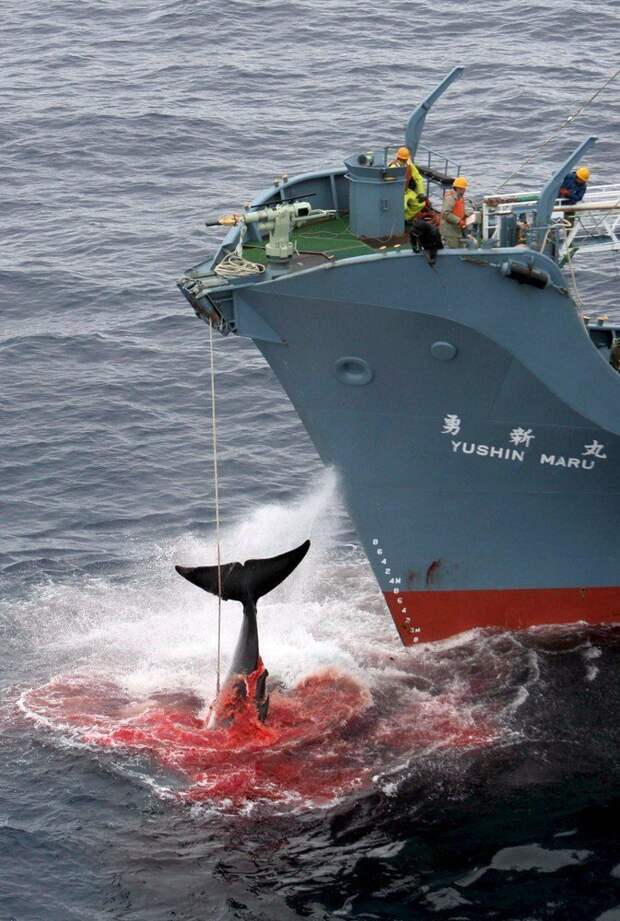 Международная китобойная комиссия ввела мораторий на коммерческий китобойный промысел еще в 1986 году (на фото: китобойное судно Yushin Maru поднимает загарпуненного кита в Южном океане, 2006 год) исследование, кит, наука, промысел, убийство, фото, япония