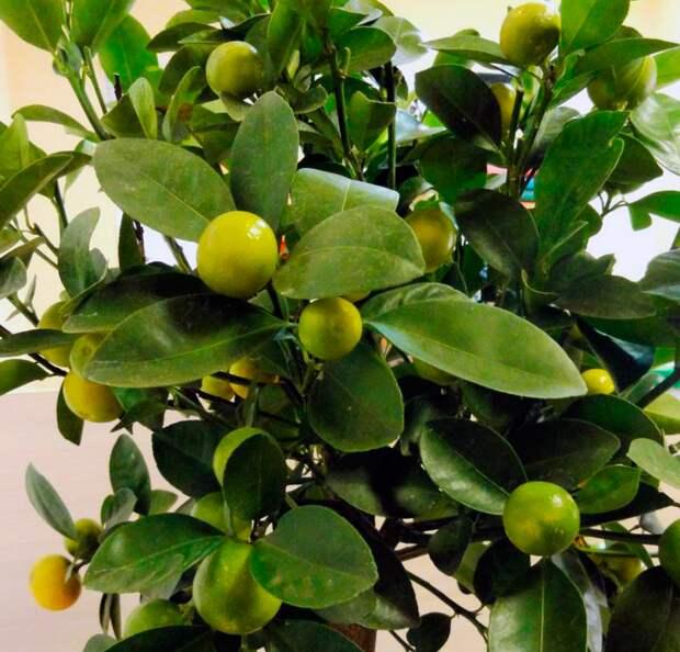 Как вырастить мандариновое дерево из косточки