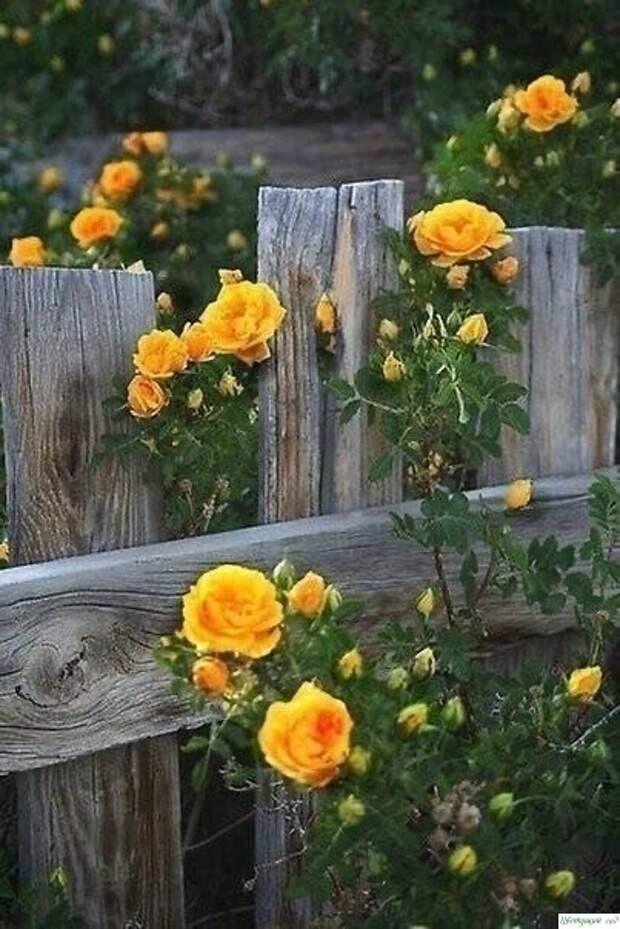 О том, как правильно обрезать розы: 4