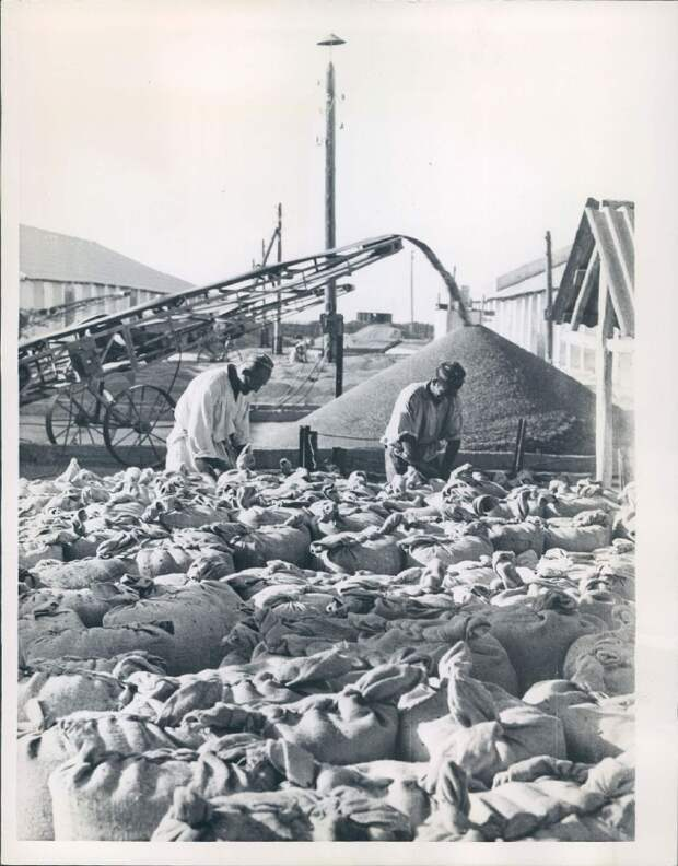 1957. Узбекистан. Проверка зерна на станции Хавастское