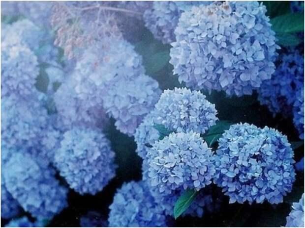 Выращиванием голубую гортензию в саду