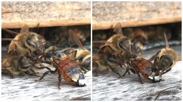 Потому что они банда: пчелы очищают испачкавшуюся соплеменницу взаимовыручка, живая природа, насекомые, пасека, помощь, пчела, пчёлы, улей