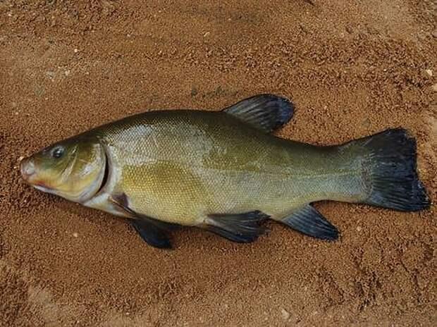 Моя любимая рыба линь