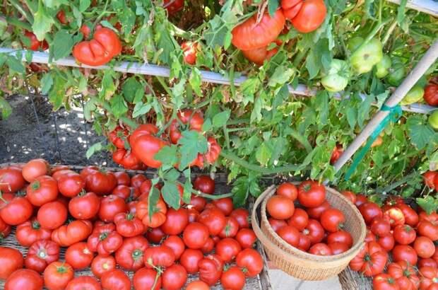 """7 """"золотых"""" правил большого урожая томатов"""