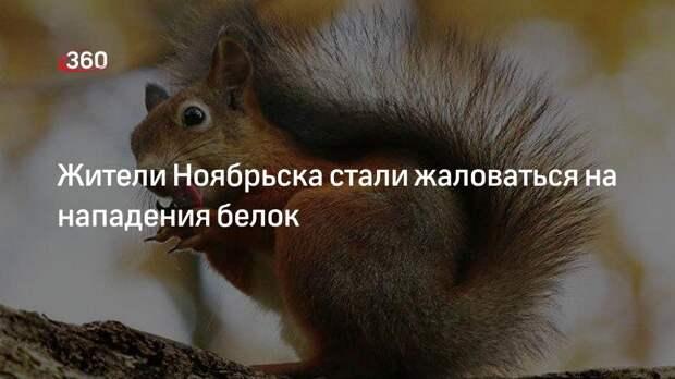 Жители Ноябрьска стали жаловаться на нападения белок