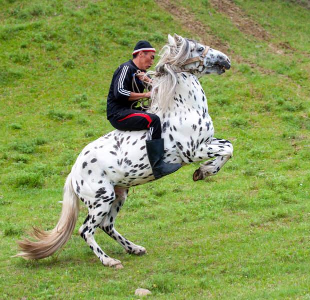 Изящность чубарого коня!