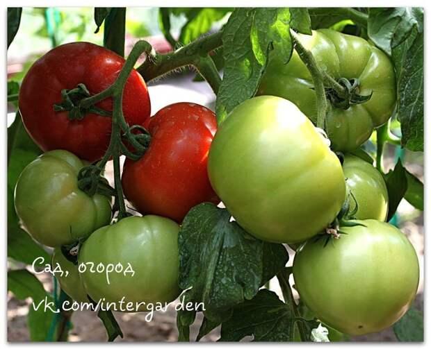 Простые правила посадки томатов в теплице