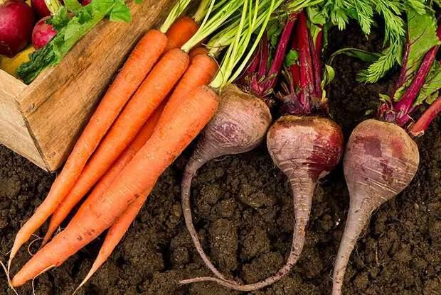 Как поливать морковь и свеклу фото
