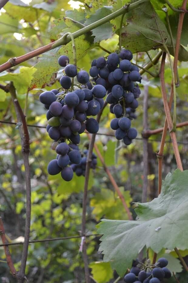 Как заботиться о винограде зимой, чтобы не остаться без урожая.