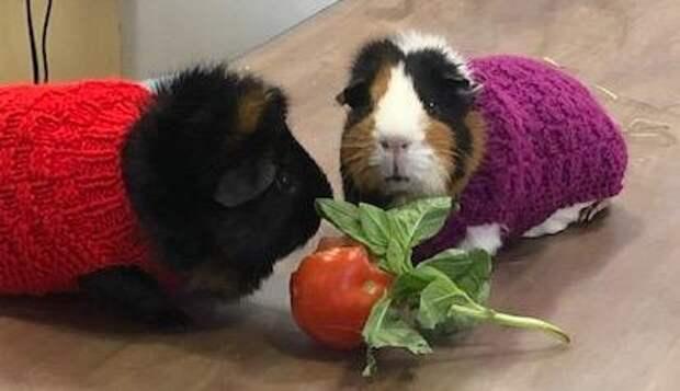 Ветеринары рекомендовали людям связать свитерки для морских свинок