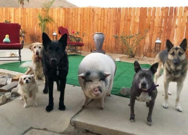 Похлебка — довольная свинка, выросшая среди 5 собак и считающая себя одной из них Похлебка, домашний питомец, животные, милота, свинья, собаки