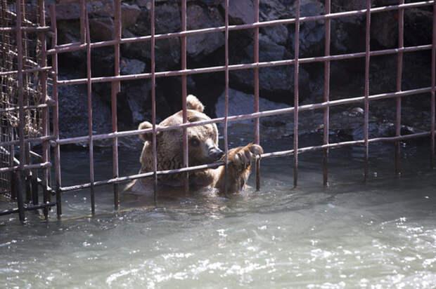 Во время паводка медведям приходилось особенно туго, так как уровень реки значительно повышался.