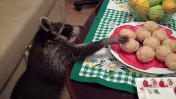 Енот крадет еду