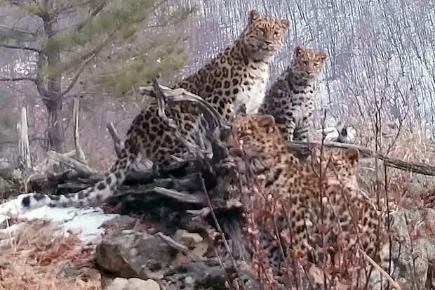 Четыре редчайших леопарда попали на видео