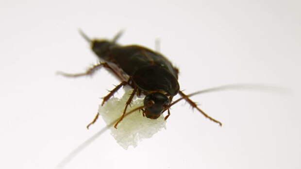 Тараканы не прочь отведать сахарку. /Фото: il3.picdn.net