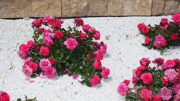 """Как вылечить розы без """"химии"""""""