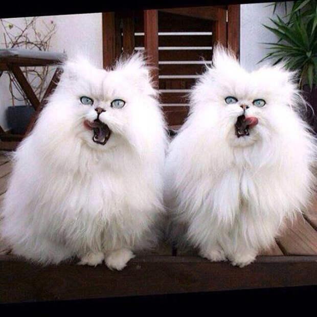 Малоисследованный, но факт - кошки синхронизируют