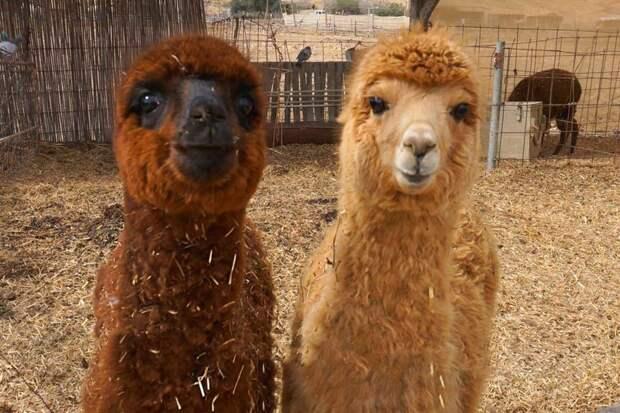 Альпака и Лама. В чем разница? альпака, верблюд, животные, лама, перу, природа, шерсть