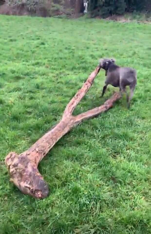 Чем больше, тем лучше! Собака установила личный рекорд, выбрав для игры упавшее дерево вместо палки