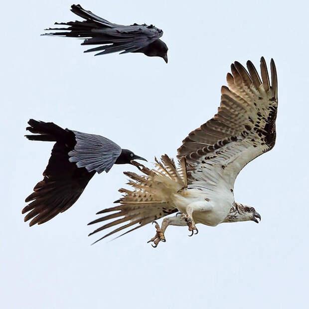 Австралийские вороны и восточная скопа - фото говорит само за себя вороны, животные, птицы, фото