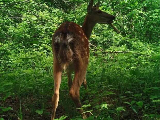 Нетипичный рацион: в приморском заповеднике олени стали есть кости ynews, заповедник, каннибализм, кости, олени, фотоловушка