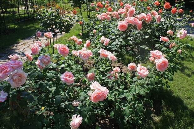 Роза чайно-гибридная на клумбе