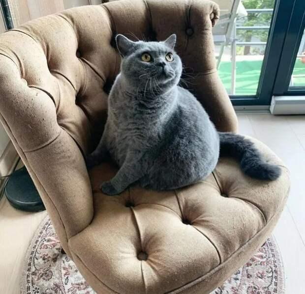 Владелец попросил усыпить кота, похожего на большой шар