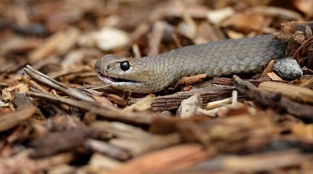 Смертельная схватка красноспинного паука и восточной коричневой змеи змея, паук, схватка