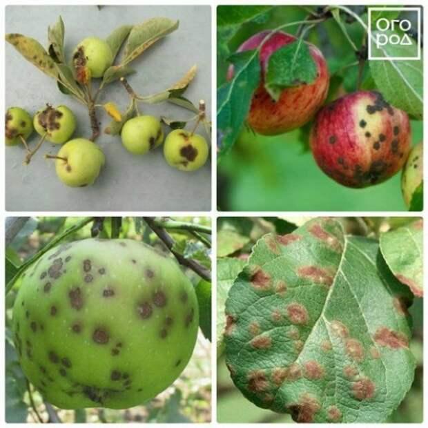парша яблони фото описание лечение