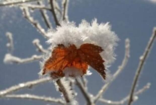 Смородина входит в группу зимостойких растений, но значительное понижение температуры может не перенести