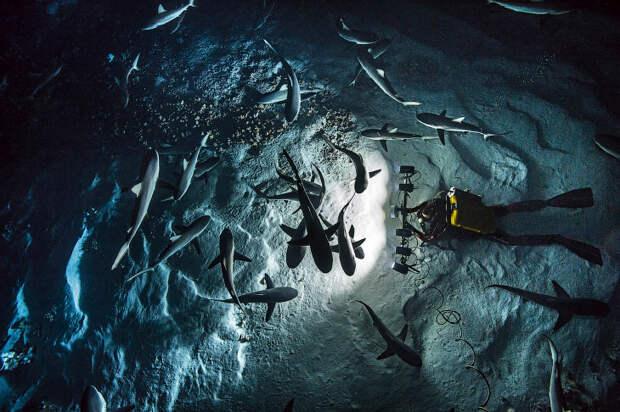 Удивительные фотографии охотящихся акул
