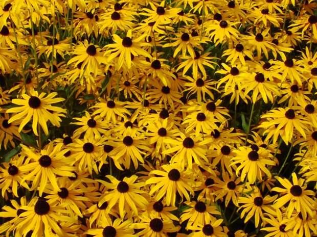 Рудбекия очень сильно смахивает на ромашку, однако, её отличие от всеми любимого цветка в сочном солнечном желтом цвете