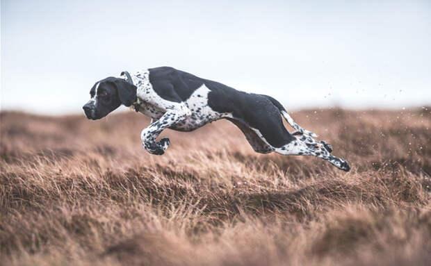 """1 место в категории """"Собаки за работой"""" - Сара Колдекотт, Великобритания Кеннел клаб, животные, конкурс, лондон, портрет, собаки, фото, фотография года"""