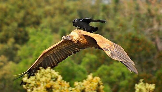 Поездка на грифе вороны, животные, птицы, фото