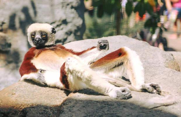 Сифаки: Счастливые и беззаботные. Лежат на солнышке и танцуют целыми днями