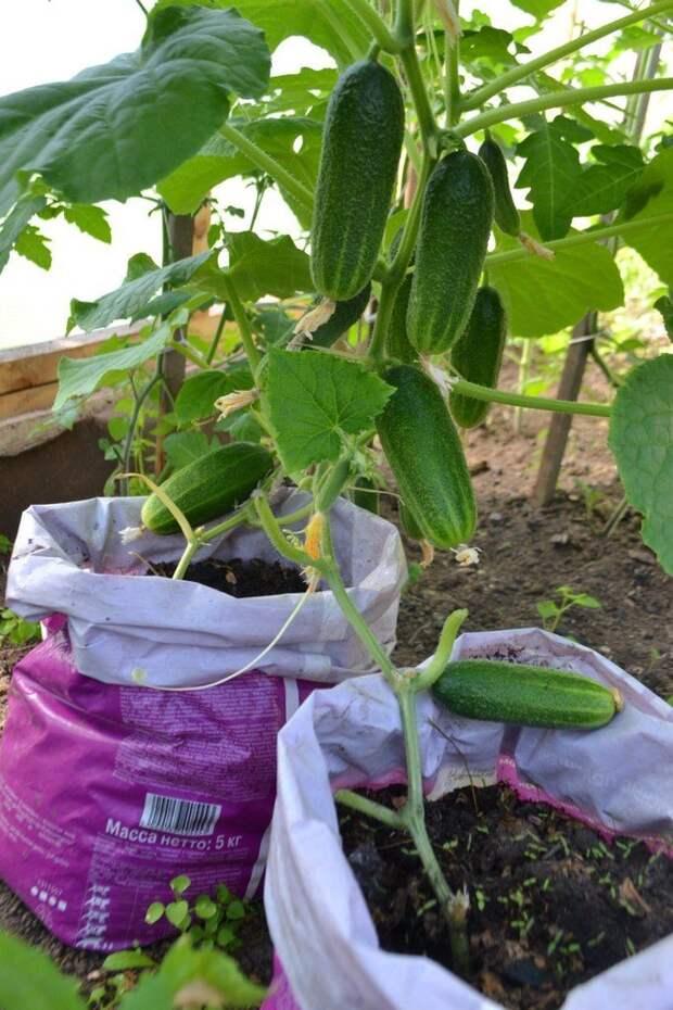 Урожай на 5+: не хлопотное выращивание огурцов в мешках!