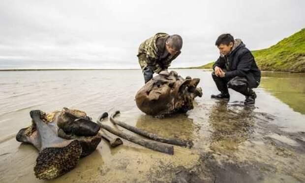 Отлично сохранившийся взрослый мамонт найден в России