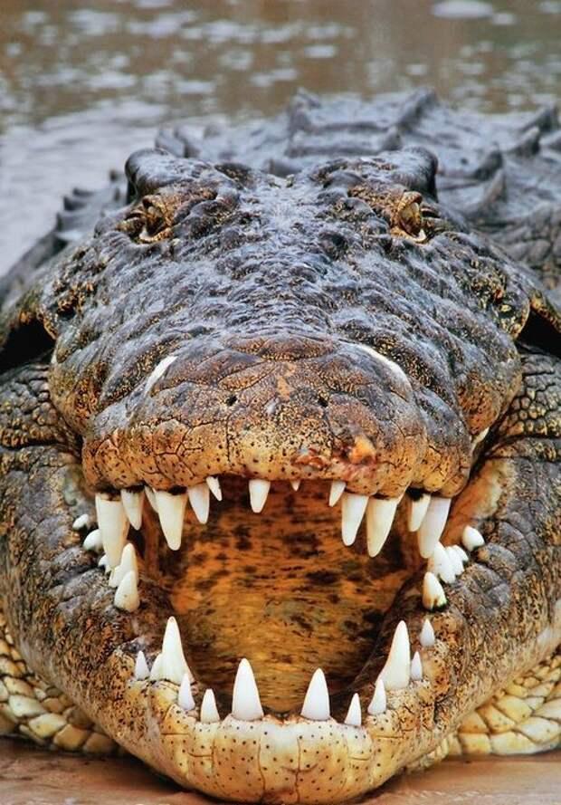 Чтобы пережить отсутствие пищи и засуху, некоторые виды крокодилов впадают в спячку. При этом у них замедляется обмен веществ и робота всех жизненно важных органов. В таком состоянии крокодил может прожить около 2 лет. аллигатор, интересное, крокодил, природа, факты, фауна